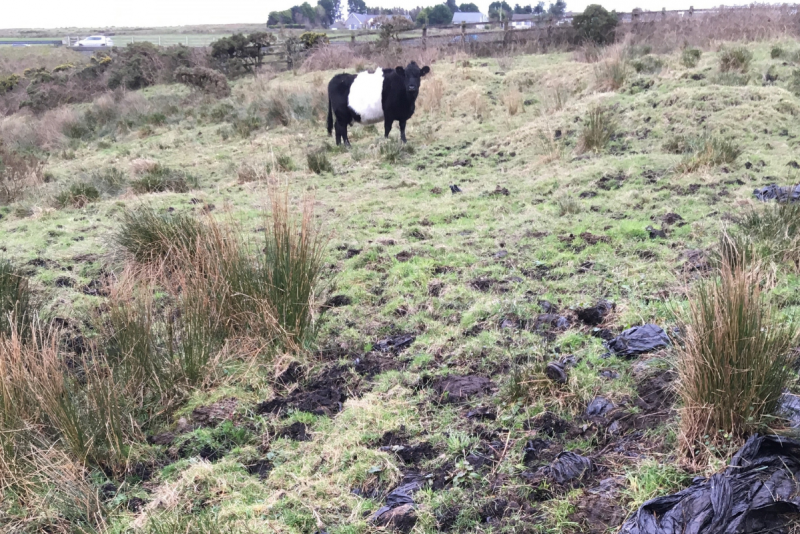 cow in field with buried silage wrap
